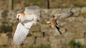 カンフー空中戦!獲物をめぐるメンフクロウとハヤブサ(チョウゲンボウ)の戦い