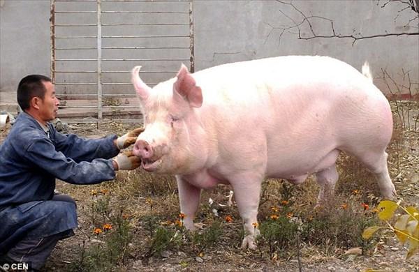 可愛くて食べれない! 家畜の豚に愛着がわき、巨大豚をペットにした中国人男性