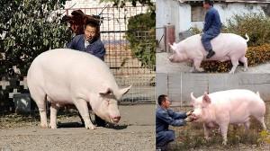 可愛くて食べられない!家畜の豚に愛着がわき、巨大豚をペットにした中国人男性