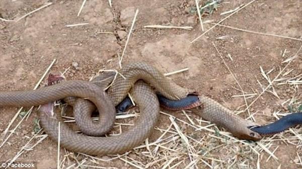 どんな状況!? 奇妙な状態で力尽きた2匹のヘビの死骸が発見される!