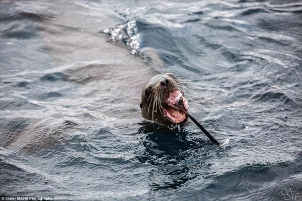 サメなんてただの魚だ! サメを捕食するアシカが撮影される!