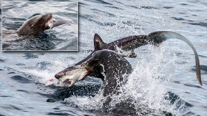 サメなんて所詮ただの魚だ! サメを捕食するアシカが撮影される!