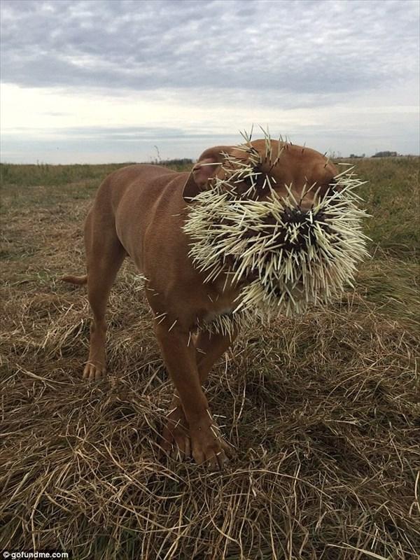 3頭の犬がヤマアラシに襲われる! うち一頭はトゲが内臓に達する重症を負う
