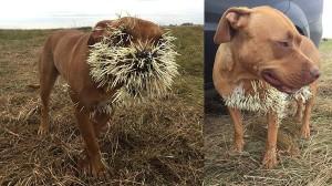 3頭の犬がヤマアラシに襲われる! うち1頭はトゲが内臓に達する重症を負う