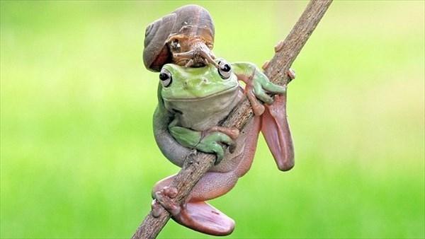 それ、カッコイイの? カタツムリを帽子のようにかぶるオシャレなカエル