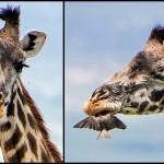 食べてませんよ!歯を磨いてもらってるんです! キリンの歯の掃除をする鳥!