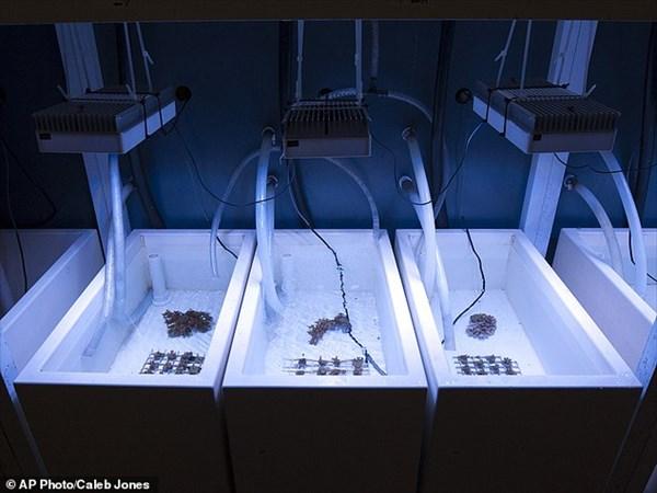 ハワイの科学者たちが、地球温暖化に耐える「スーパー・サンゴ」品種改良へ