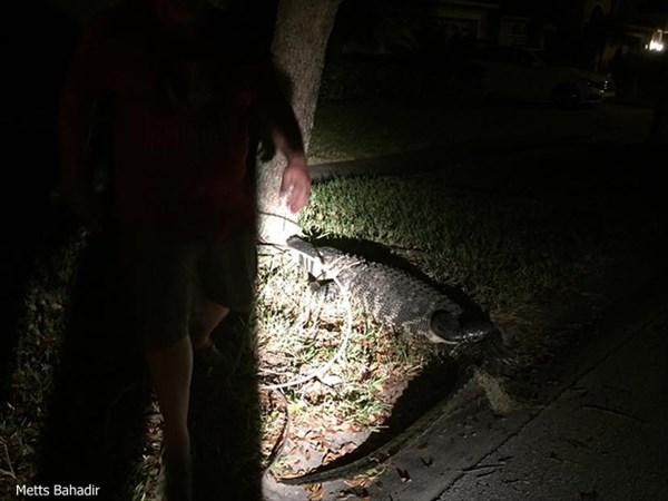 真夜中にアリゲーターが自宅を突撃訪問! 家族4人が閉じ込められる!