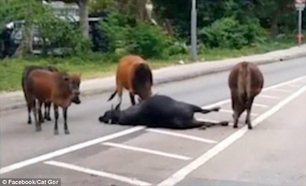 牛は仲間の死を悲しむ? 交通事故にあって負傷した牛を気遣う牛たち