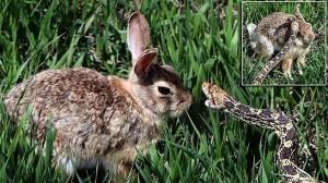ウサギVSヘビ 10分にわたる死闘を繰り広げる!戦いの理由はウサギの子供?