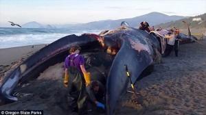 オレゴン州の海岸に100トンのシロナガスクジラ! エルニーニョ現象が原因か
