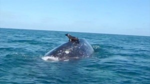 自分の意思で乗った!? クジラに乗るアシカが撮影される!