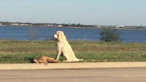 交通事故で亡くなった恋人の死を悲しむ犬 ボランティアによって保護される