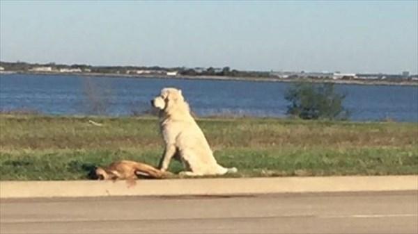 交通事故で無くなった恋人の死を悲しむ犬 ボランティアによって保護される