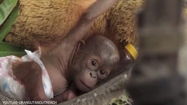 母親を殺され、孤児となった赤ちゃんオランウータンが心を取り戻すまで