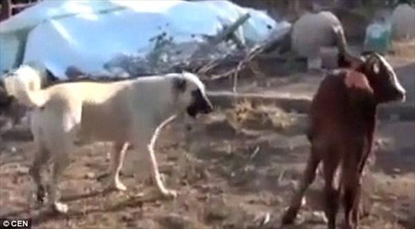 トルコで6本脚の牛が誕生! 常にお祈りポーズをしているとして地元の人気者に