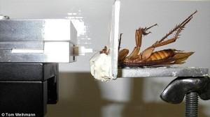 ゴキブリに新事実! 遅筋を活性化させて一時的にパワーアップできることが判明