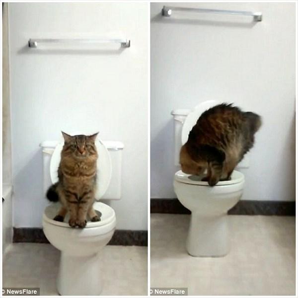 これで、猫のトイレの世話が不要に!? 猫に人間のトイレの使い方を教える方法