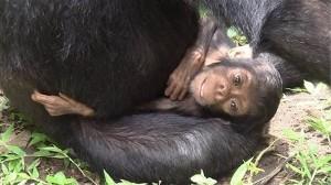 ダウン症の娘を2年間も介護したチンパンジー! 京都大学が世界初の観測