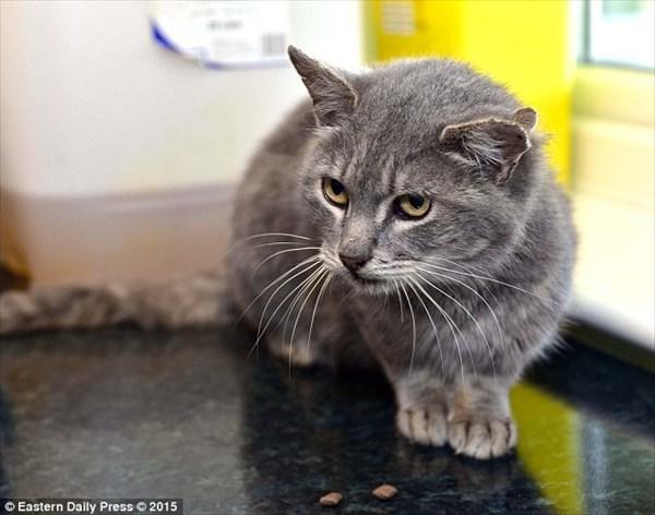 イギリスで3つの耳を持つ野良猫が保護される!