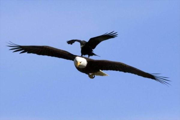 ハンティングに真剣なハクトウワシと、上に乗ってふざけるカラスが撮影される!
