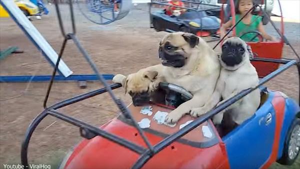 遊園地の乗り物で遊ぶパグの家族! & 「俺は風になる!」バイクに乗るパグ