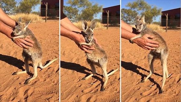 「いやだ!離れたくない!」 飼育員の腕にしがみつく孤児カンガルーのジョーイ