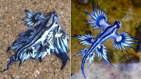英名はブルードラゴン! オーストラリアの海岸でアオミノウミウシが撮影される