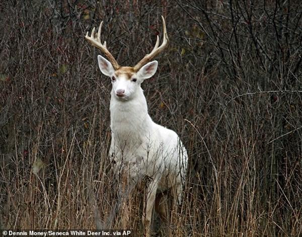 珍しい白い鹿が200頭もいる! 放棄された軍事施設で遺伝的変異個体が繁殖