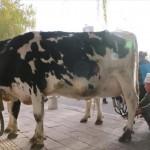 牛乳は搾りたてが一番! その場で牛から搾乳する中国の路上販売あらわる!