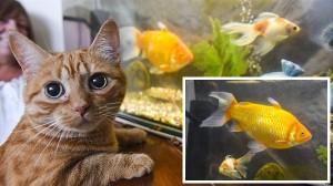 飼い猫すらも怯える! わずか3年で急成長した巨大金魚ビッグボブ!