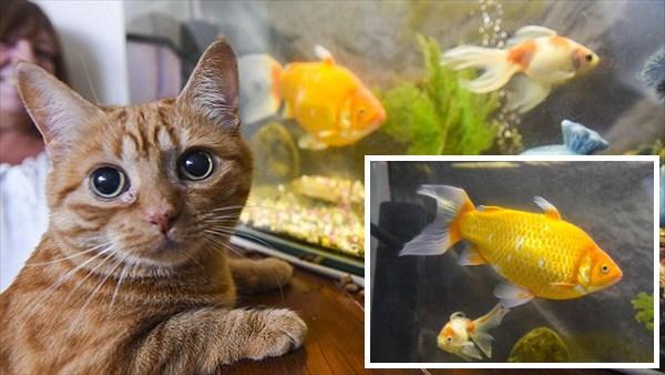 飼い猫すらも怯える! わずか3年で急成長した巨大金魚ビッグボッブ!