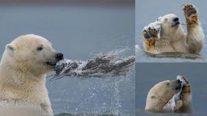クジラの死骸で陽気に遊ぶホッキョクグマ &more!!