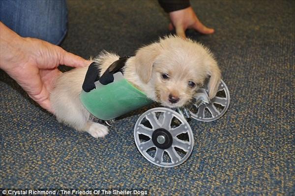 前脚を持たずに生まれた2本脚の子犬 3Dプリンターによる車椅子を装着!