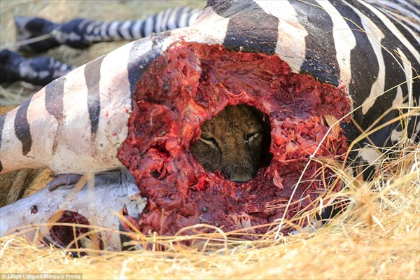 シマウマに開けた穴からギロリ! 厳しい生存競争を思い知らされるライオンの姿