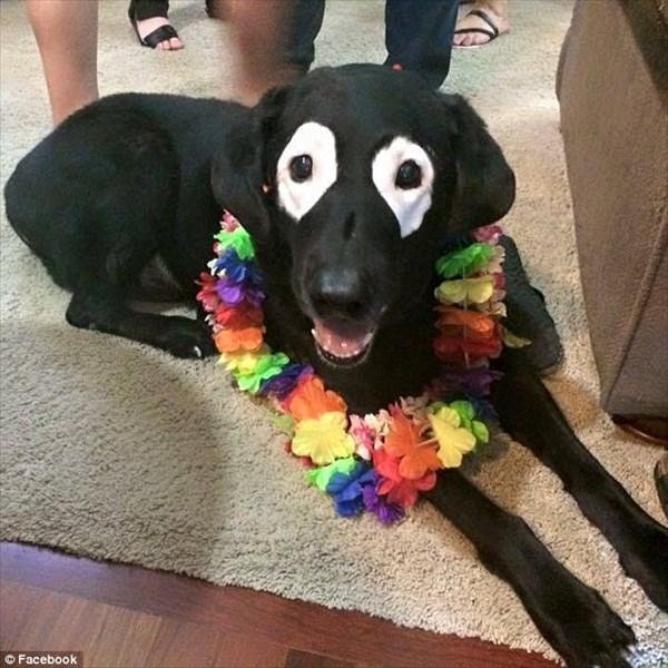 真っ黒だった愛犬のラブラドール・レトリバー 白斑によって強盗みたいになる