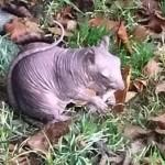 「冬が来る前に、裸のリスを救出せよ!」 イギリスでハゲたリスの救出活動開始