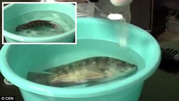 死にかけの魚が一瞬で生き返る! 中国の魚屋で使用される謎の白い粉
