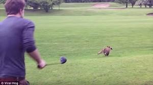 ドライバーのカバーを執拗に盗むキツネと、キツネに弄ばれるゴルファー