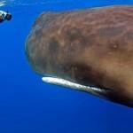 至近距離のマッコウクジラは結構怖い! 歯を持つ生物最大のマッコウクジラ