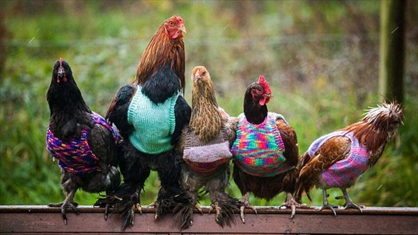 寒いのは人間だけじゃない! ニワトリにセーターを編む親子に注文殺到!
