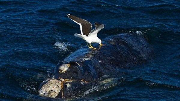 カモメが凶悪化? 海面に上がってきた赤ちゃんクジラの肉を食べる報告が急増!