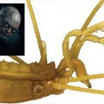 洞窟で発見! 新種の盲目ザトウムシ ロードオブザリングからスメアゴルと命名