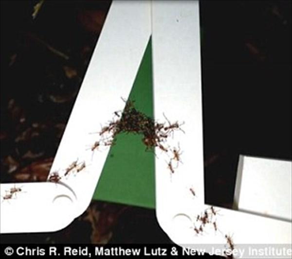 集団行動で最短距離の橋を作るアリ! そして、それをロボットに導入?