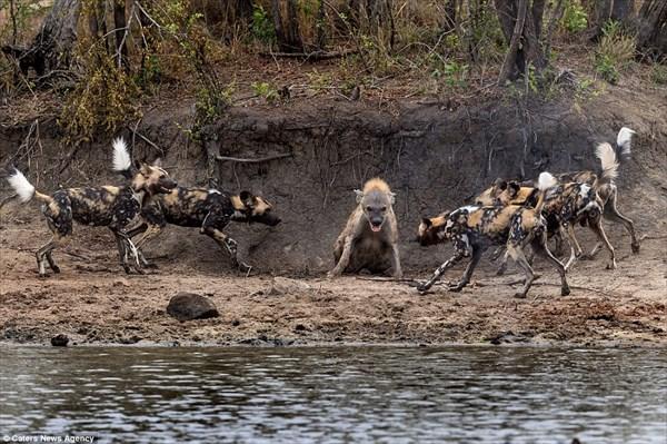「どこからでもかかって来い!」リカオンの群れに囲まれても、強いハイエナ!!