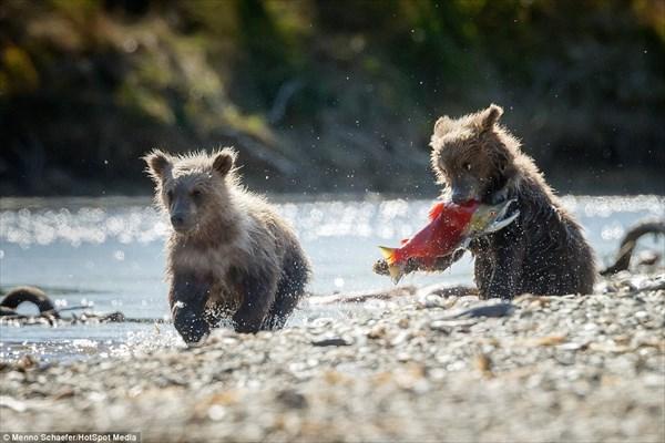 「鮭の捕り方はこう!」子グマに魚の捕り方を教えるお母さんグマ