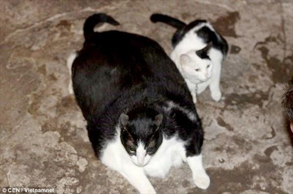 体重20キロ! 世界一太ったデブ猫がベトナムで見つかる!名前は「ミウ」