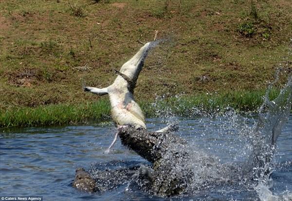 ワニVSワニ 捕らえたワニを水面に叩きつけ、共食いをするワニを撮影!