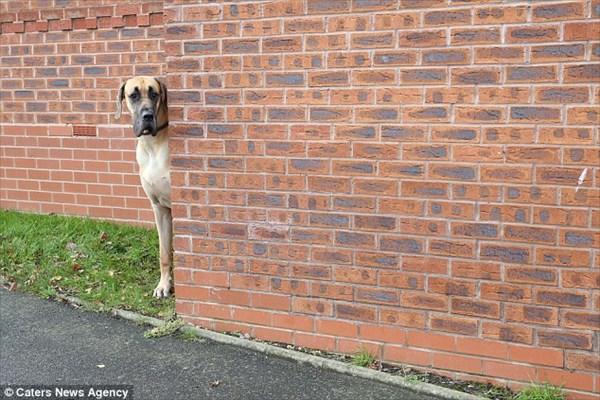 リアルスクービードゥー! ビニール袋すら怖がる!デカいくせに超ビビりな犬
