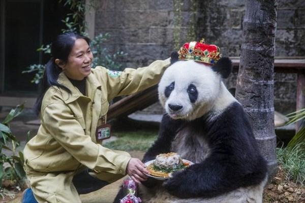 人間だと130歳!? 世界で二番目に長寿のパンダが35歳の誕生日を迎える!